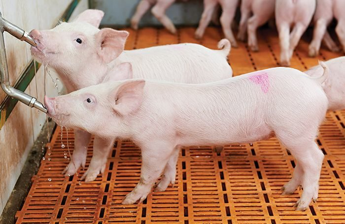 Ứng dụng máy ozone trong trang trại chăn nuôi